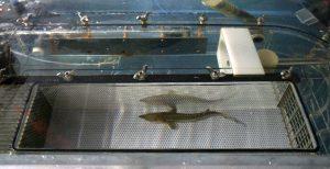 Juvenile d'esturgeon 4mois dans un tunnel de nage